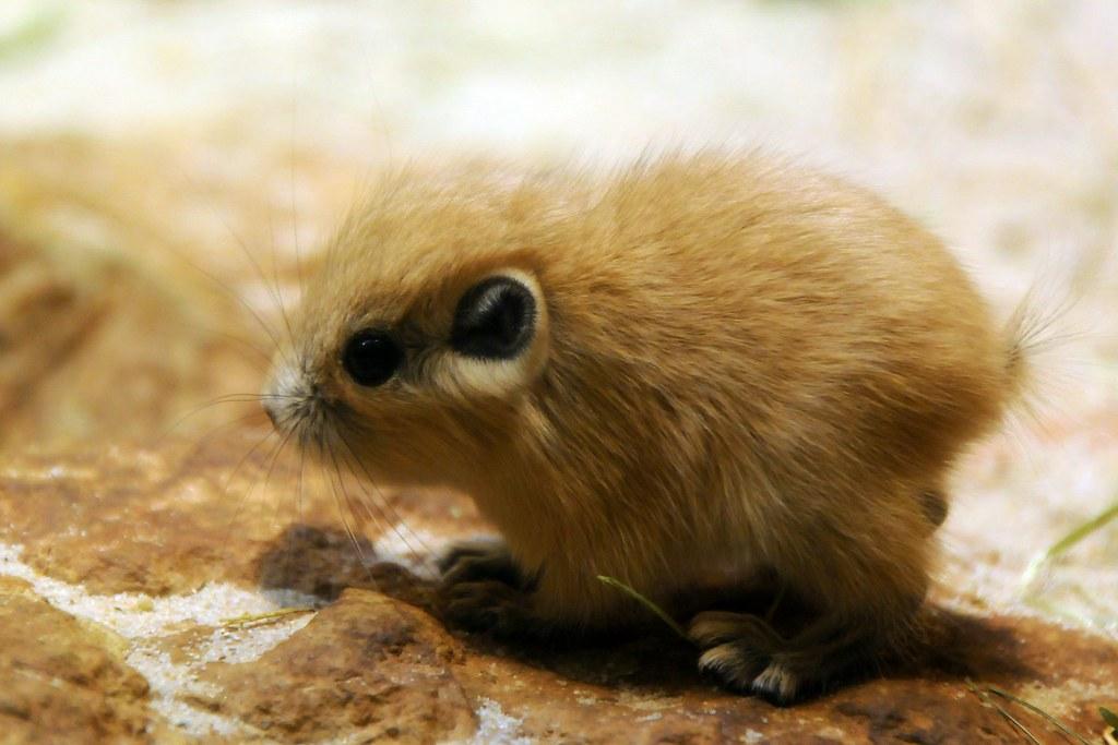 Гунди - североафриканский грызун