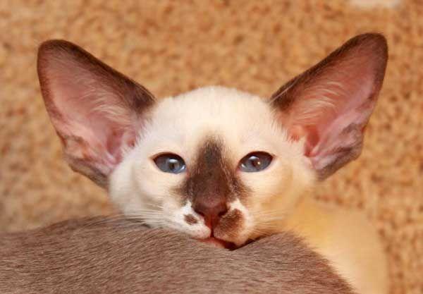 Сейшельская кошка: описание породы, фото и видео материалы, отзывы о породе