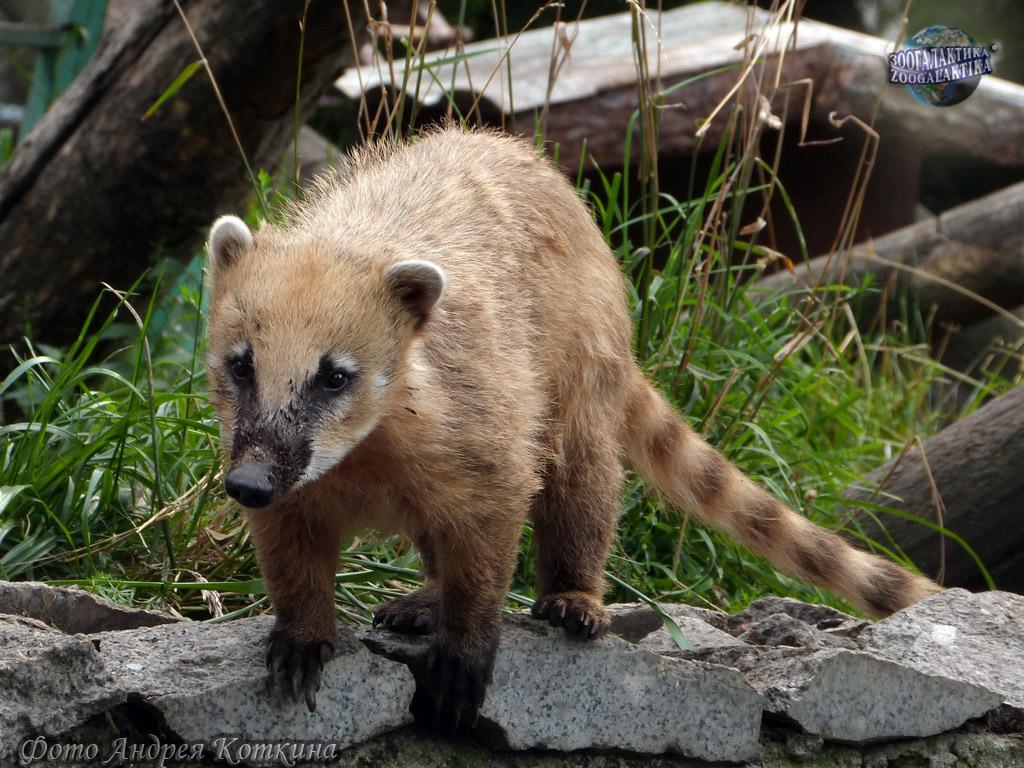 Носухи, коати. род: nasua storr, 1780 = носухи, коати. хищные, еноты, обыкновенная носуха, коати