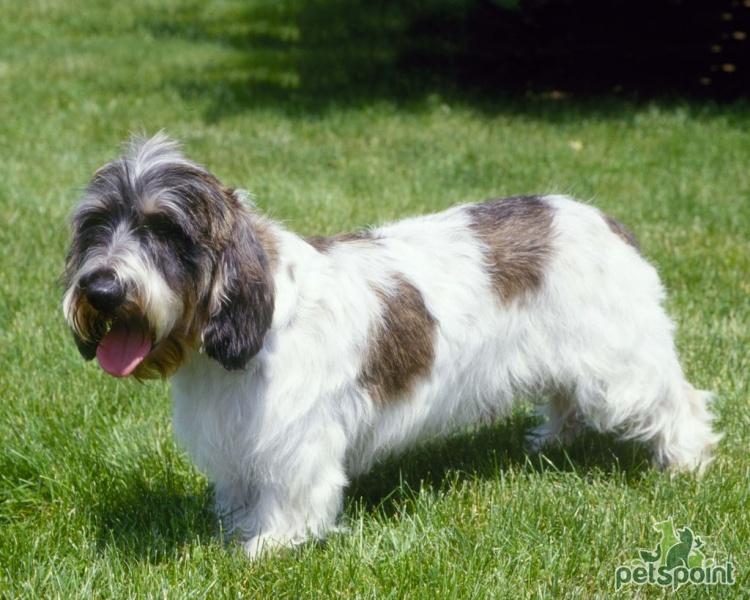 Большой вандейский бассет-гриффон: характеристики породы собаки, фото, характер, правила ухода и содержания
