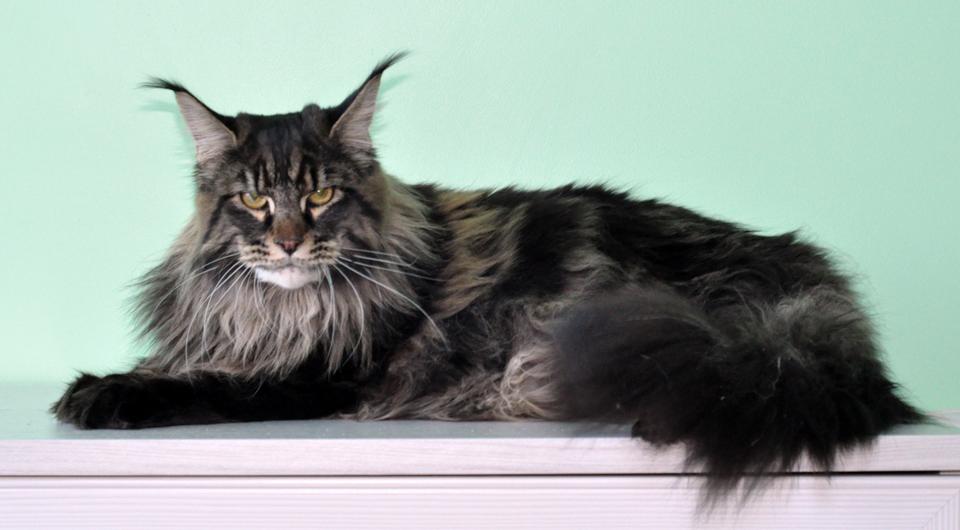 Порода кошек мейн-кун: фото, описание, характер, цена, уход, видео