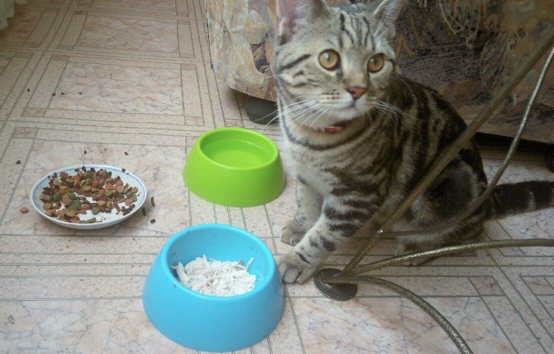 Сколько кошка может ходить голодная?