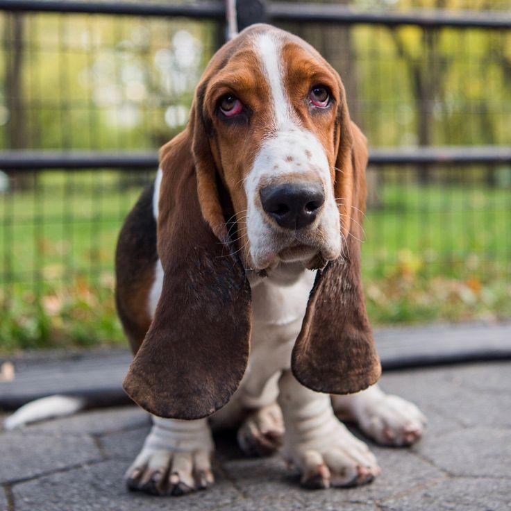Артезиано-нормандский бассет: обзор породы, фото собаки