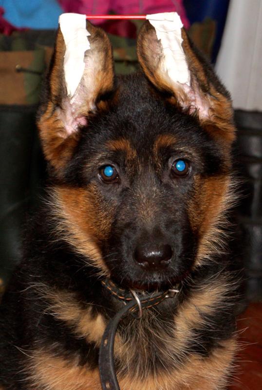 Когда встают уши у немецкой овчарки - не стоят ушки у щенка, как поднять