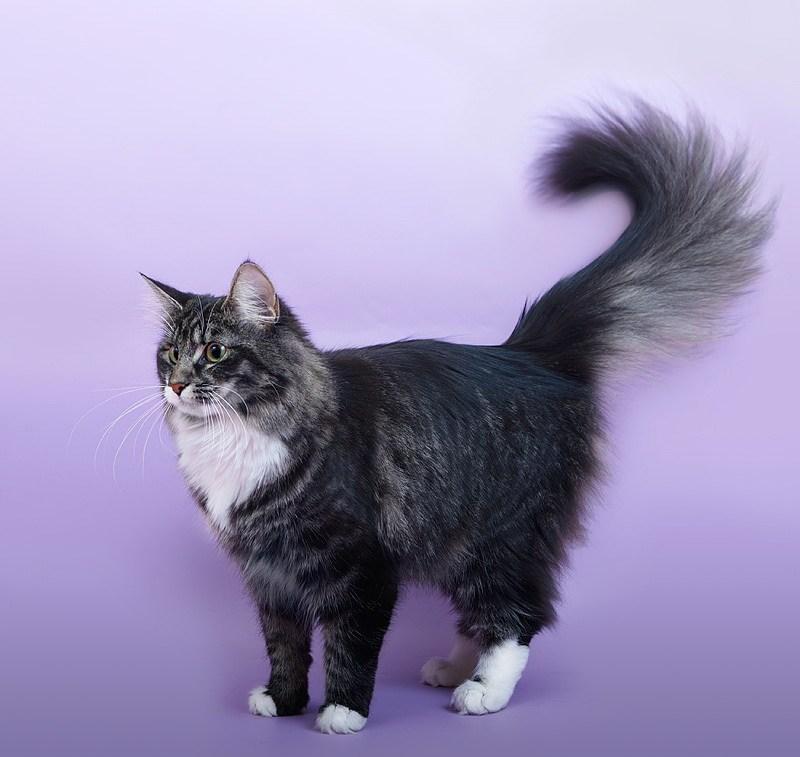 Норвежская лесная кошка: описание породы, фото, характер, вес и размеры