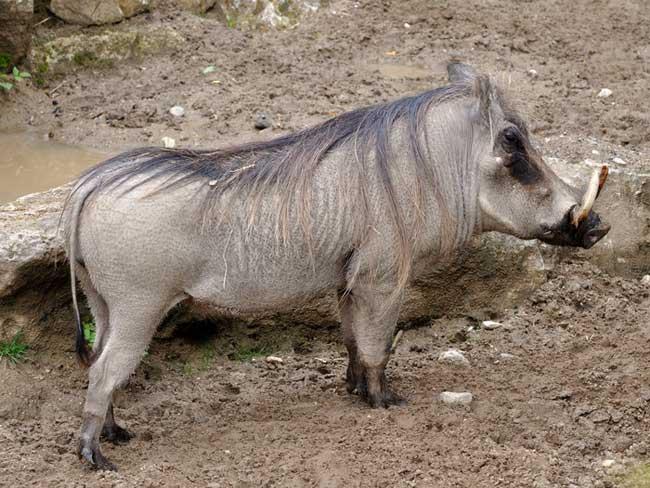 Дикий кабан - описание животного, где обитает, чем питается