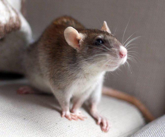 Белая мышь — описание вида, размера и характера