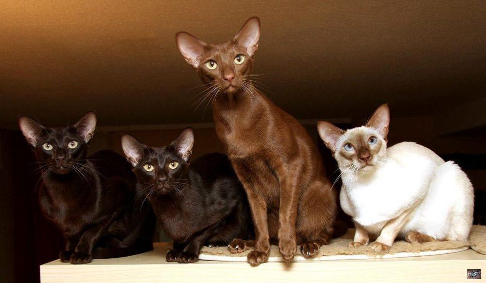 Яванская кошка (яванез): история породы, правила ухода за питомцем