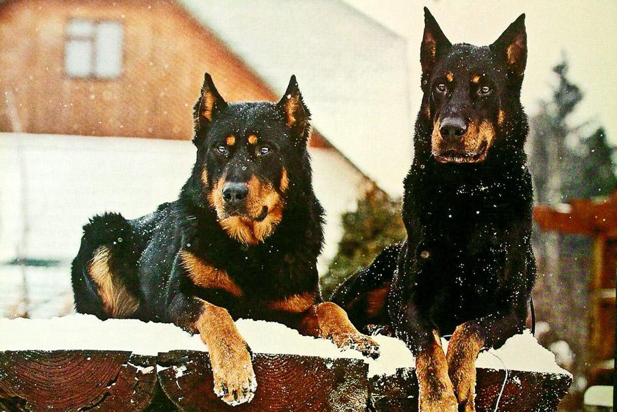 Самые лучшие собаки-охранники: маленькие, средние и крупные породы, а также псы-телохранители