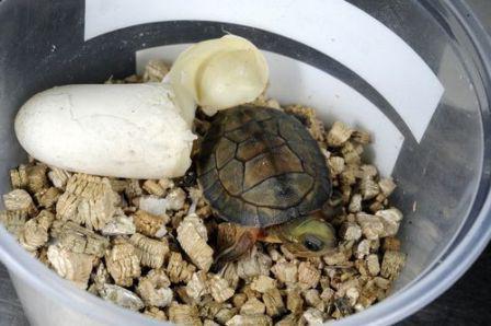 Беременность и кладка яиц у красноухих черепах