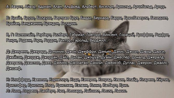 Как назвать британского котенка: большой список имен и кличек