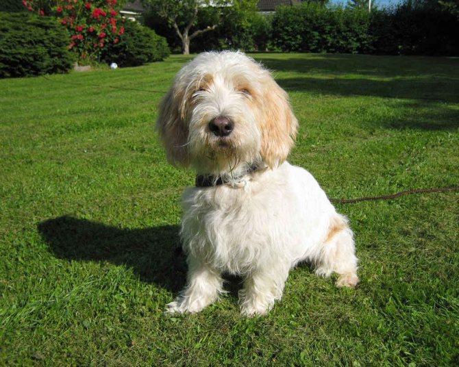 Малый вандейский бассет-гриффон — описание и фото породы   все о собаках