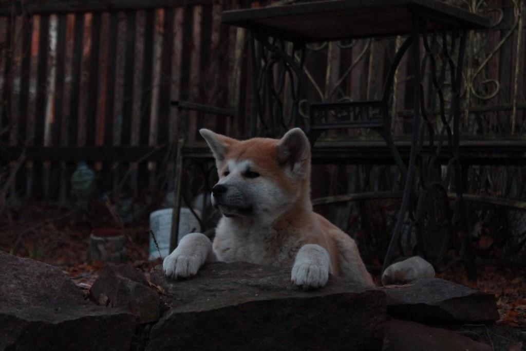 Внешний вид и характер породы собаки хатико