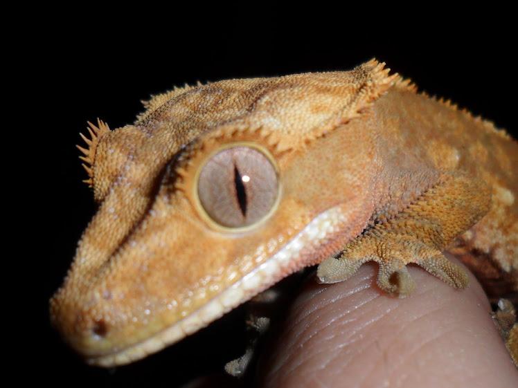 Гигантский геккон-бананоед: ящерица-шарпей с противоположенной точки земли