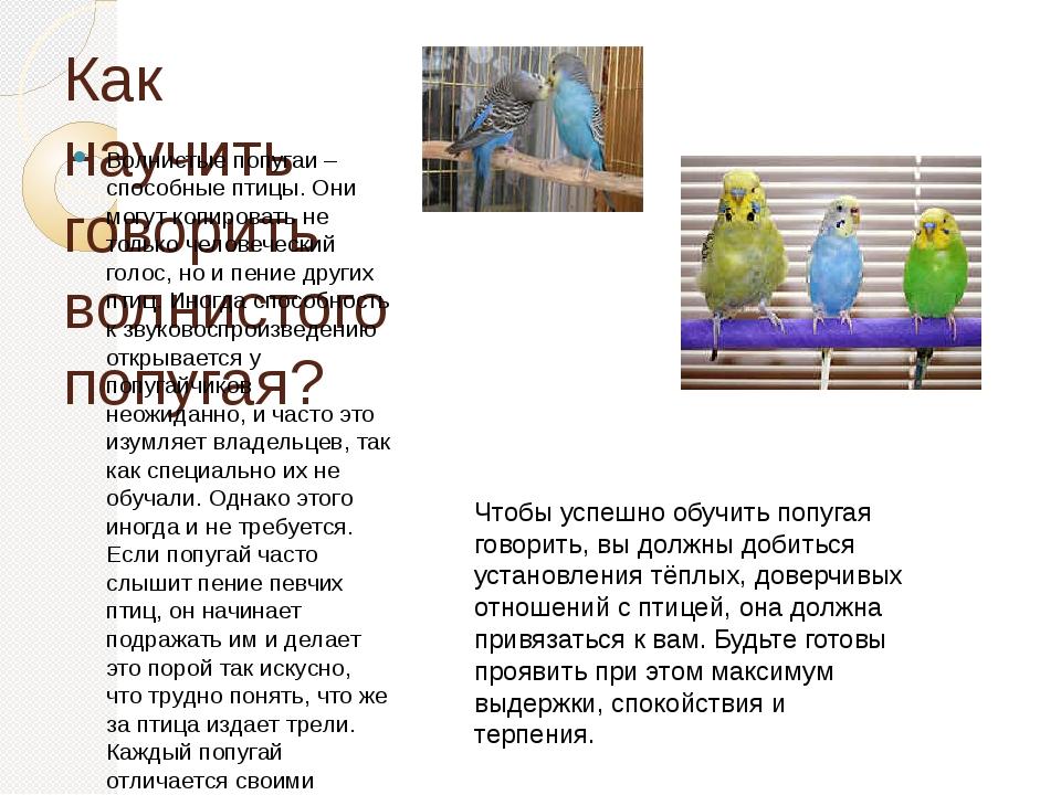 Как научить волнистого попугая говорить быстро в домашних условиях, можно ли обучить разговаривать самку
