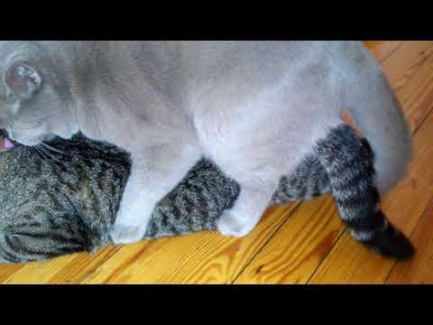 Вязка кошек: правила и советы | hill's