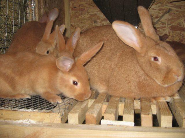 Кролики бургундской породы: описание породы и виды, как выбрать, уход и разведение