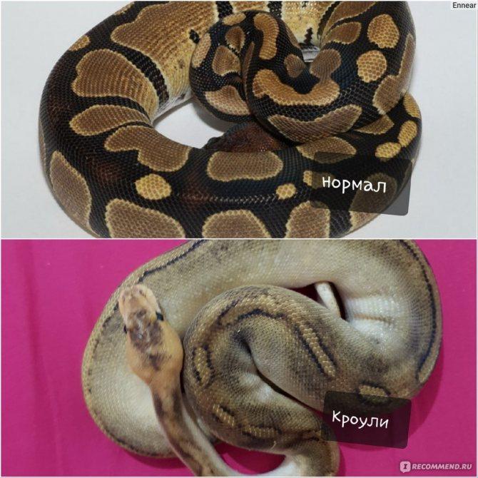 Питон змея. образ жизни и среда обитания питона | животный мир