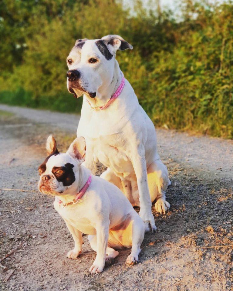 Американский бульдог: фото собаки, описание, характер, цены