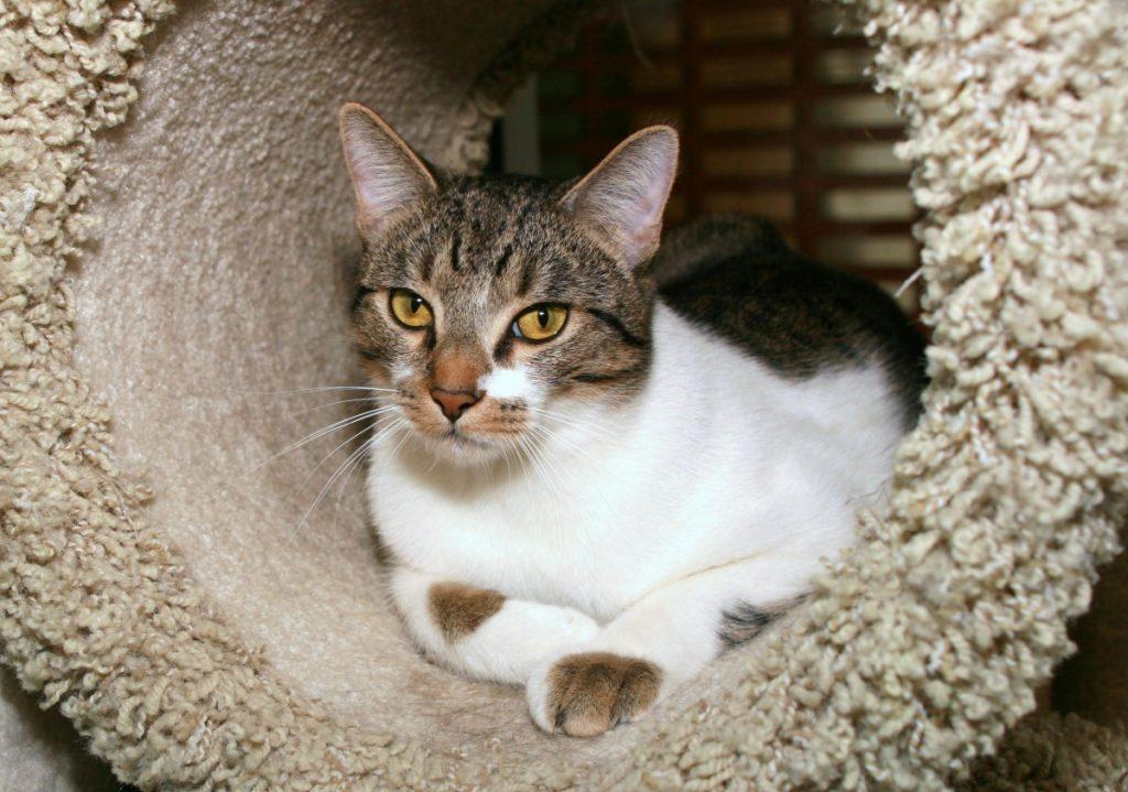 Азиатская табби - 100 фото как выглядит породистая кошка и особенности ее содержания