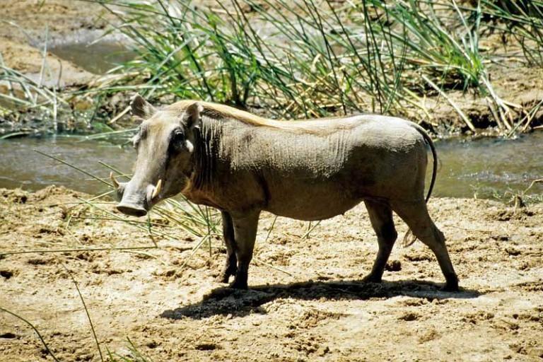 Самая большая свинья в мире вес