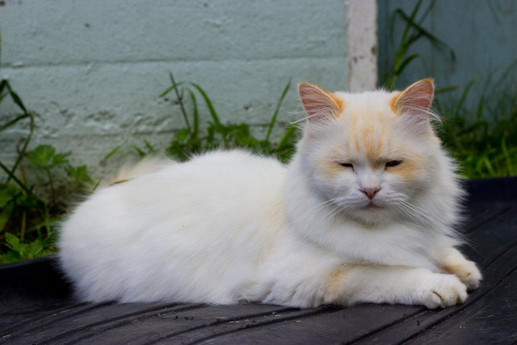 Наполеон кошка: особенности характера и ухода, фото, питание, болезни и здоровье, уход, внешний вид, окрас, размеры, повадки, характер