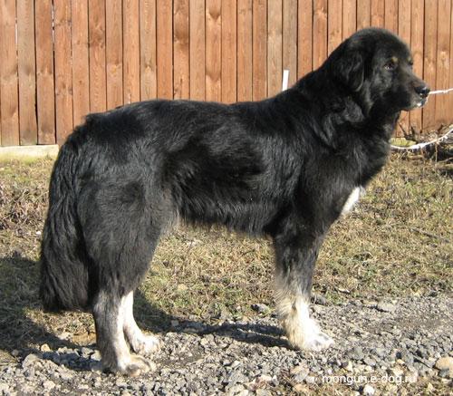 Южнорусская овчарка: фото, характер, видео, отзывы, цена щенков, содержание, окрас. шерсть, отзывы