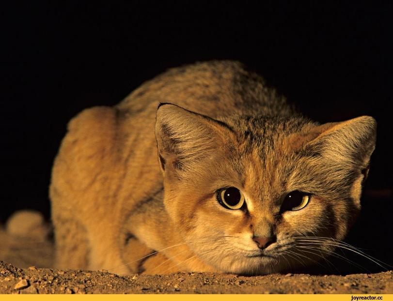 Пустынная кошка барханный кот: особенности жизни в природе и домашних условиях