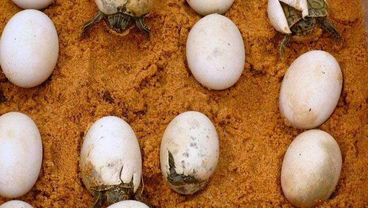 Что делают юные черепахи в первые часы жизни