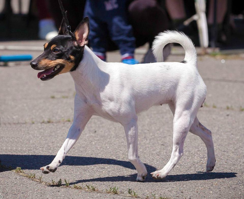 Той-фокстерьер — стандарты, главные качества собак, дрессировка, воспитание