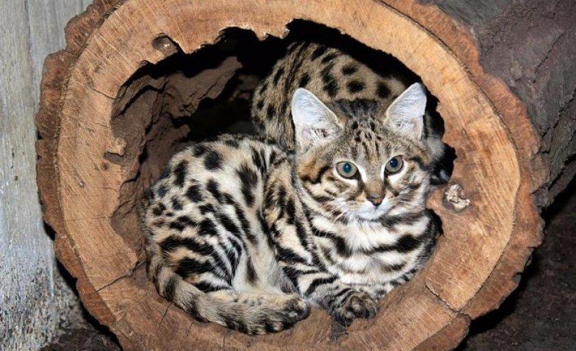 Черноногая кошка: характер и внешность, ареал обитания и образ жизни, размножение и численность вида