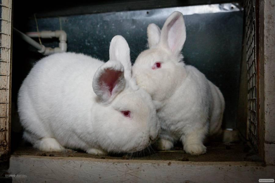 Правила содержания новозеландских красных кроликов