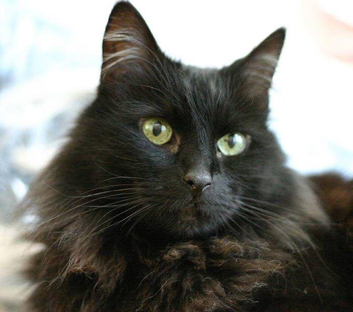 Йоркская шоколадная кошка: описание, характер, фото, цена, содержание