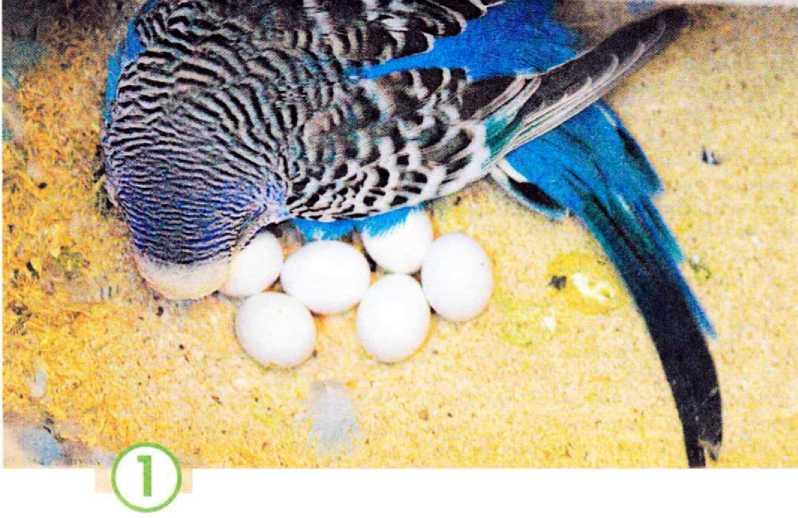 Когда волнистые попугаи откладывают яйца, или несут