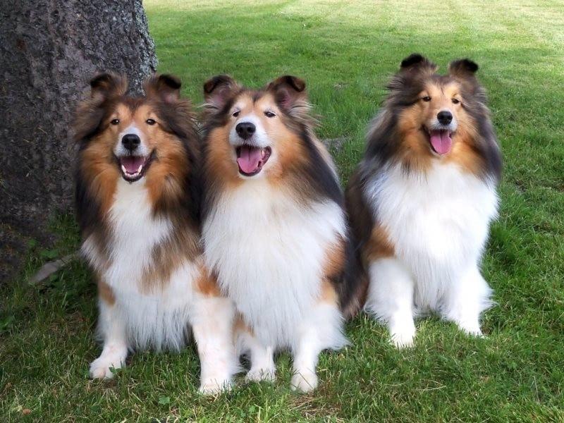 Рейтинг пяти самых ленивых пород собак