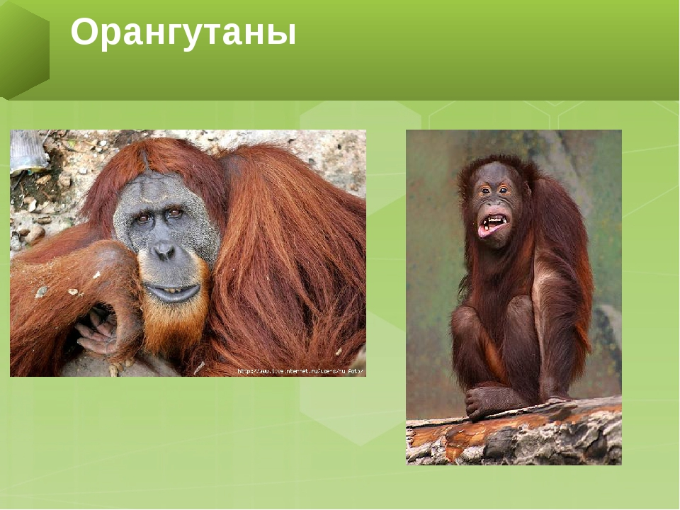 Обезьяна – мудрый примат