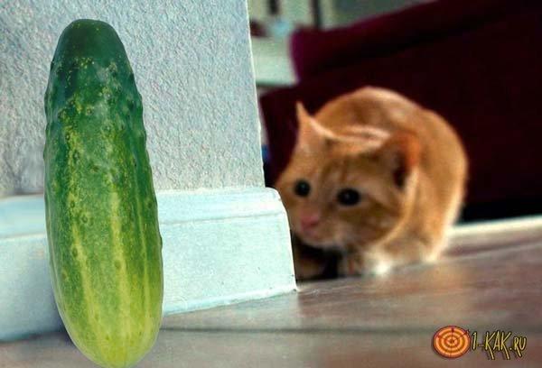 Причины сильной боязни овоща у котов - объясняем развернуто