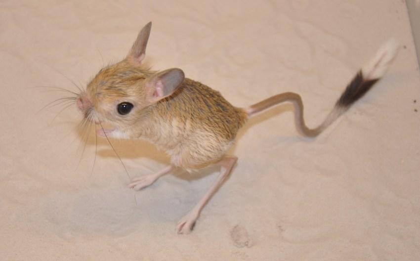 Длинноухий тушканчик   описания и фото животных   некоммерческий учебно-познавательный интернет-портал зоогалактика