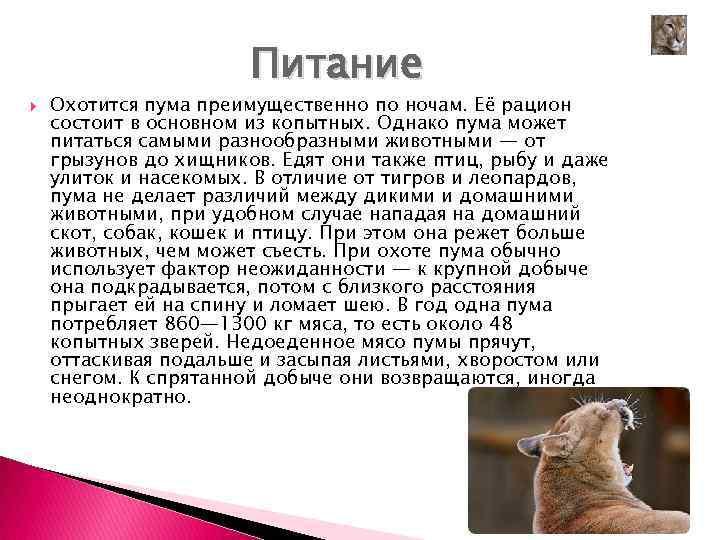 Кошка бамбино (bambino) характер кошки