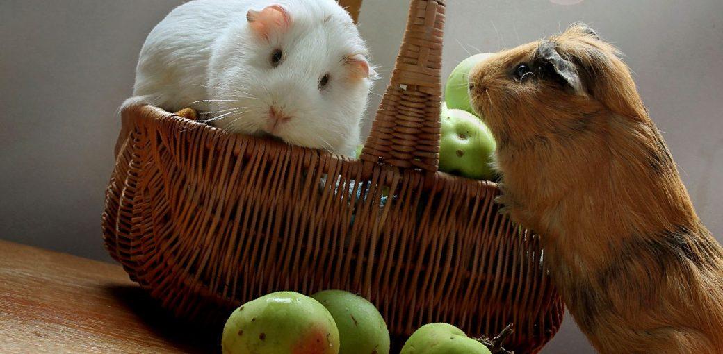 Чем кормить морскую свинку? овощами или фруктами? - люблю хомяков