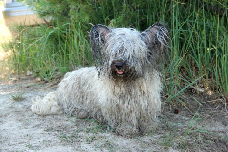 Скай терьер. история, характер, внешность, болезни породы собак