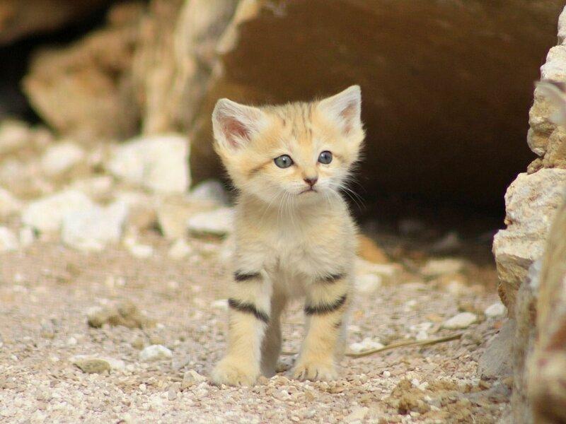Барханный кот в домашних условиях (фото). интересные факты о барханной (песчаной) кошке