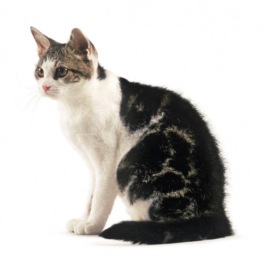 Американская жесткошерстная кошка: фото, описание породы, характер, достоинства и недостатки, сколько стоит