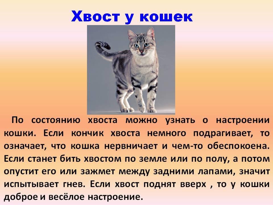 Кот или кошка трясет хвостом: метит, радуется, злится – и другие причины