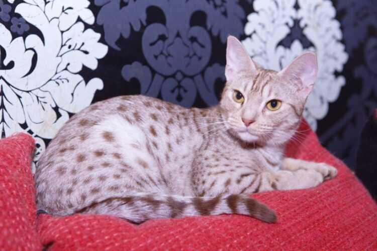 Кошка породы оцикет: характер, внешний вид, повадки, рекомендации по уходу и содержанию