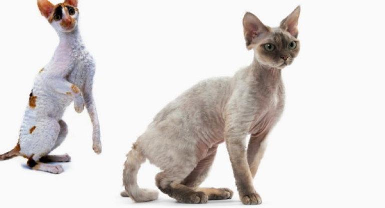Корниш-рекс ???? фото, описание, характер, факты, плюсы, минусы кошки ✔