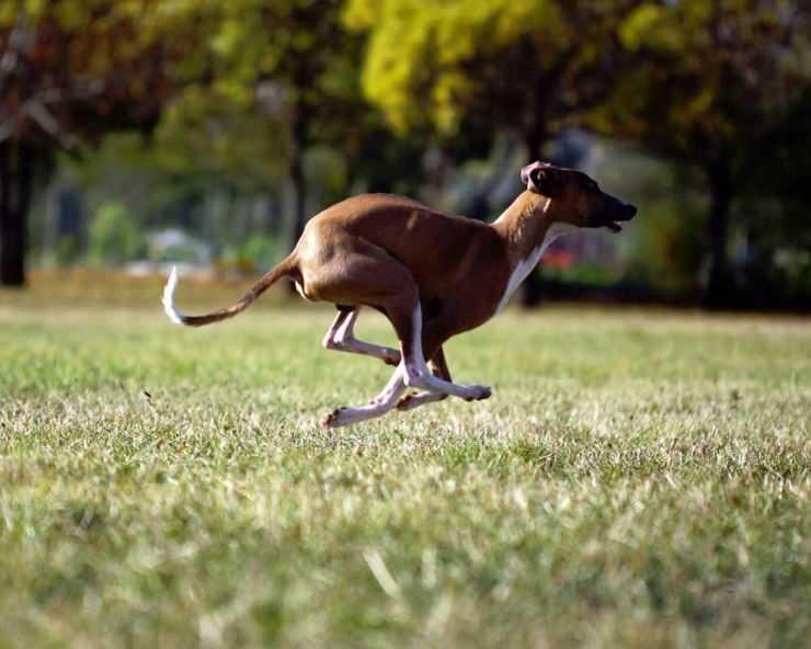 Кенгуровая собака (австралийская борзая) — фото и описание породы