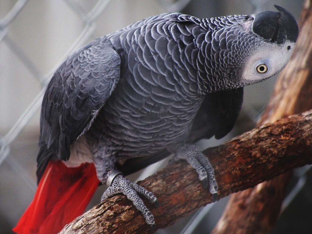 Уход и содержание попугая жако
