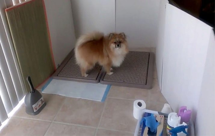 Как приучить собаку ходить в туалет на улицу