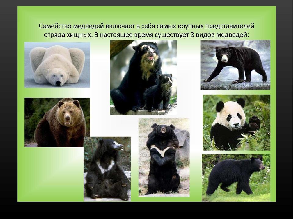 Бурый медведь: описание, виды, образ жизни, где обитает   планета животных